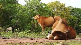 Brown krowy młody łasowanie na łące zbiory