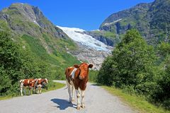 Brown krowy przed Boyabreen lodowem, Norwegia, Europa obrazy royalty free