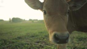 Brown krowy ` s Łydkowa twarz w polu zbiory wideo
