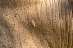 Brown krowy skóra Obraz Stock