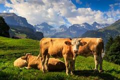 Brown krowy w górach Zdjęcie Royalty Free