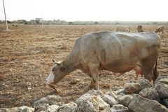 Brown krowy w suchym polu Favignana wyspa Sycylia w?ochy obraz royalty free