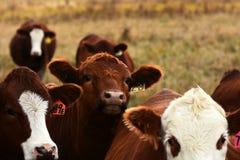 Brown krowy zakończenie Up zdjęcia stock