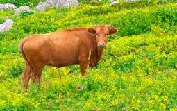 Brown krowy zwierzęta gospodarskie na wysokogórskiej zielonej dolinie Zdjęcie Stock