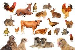 Brown-Kuh Lizenzfreie Stockbilder