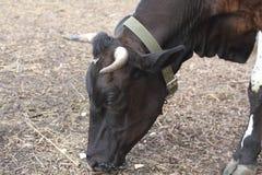 Brown-Kuh auf dem Bauernhof Kuhkopfabschluß oben Inländisches gehörntes Säugetier Lizenzfreie Stockfotografie