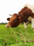 Brown-Kuh auf einer grünen Wiese lizenzfreie stockfotografie
