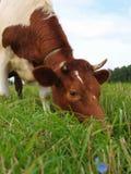 Brown-Kuh auf einer grünen Wiese stockfotos