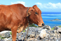 Brown-Kuh bedrängt durch Fliegen lizenzfreie stockfotos