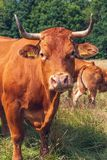 Brown-Kuh in der Wiese stockfotos