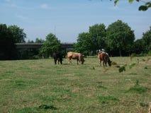 Brown-Kuh in der Wiese Lizenzfreie Stockfotografie