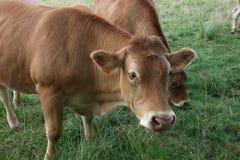 Brown-Kuh in der Wiese Lizenzfreie Stockfotos