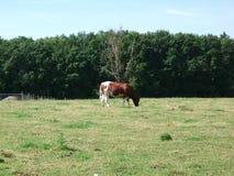 Brown-Kuh in der Wiese Lizenzfreie Stockbilder