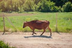 Brown-Kuh, die auf Rasenfläche gegen das Abendlicht intelligent steht Kuhspaß stockfotografie