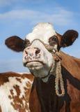 Brown-Kuh, die in der Unendlichkeit anstarrt Stockfotografie