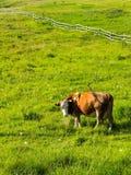 Brown-Kuh, die Kamera auf Wiese mit grünem Gras untersucht Lizenzfreie Stockfotografie