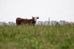 Brown-Kuh, die nach vorn schauen und Wohnblöcke im Hintergrund Stockfotografie