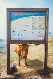 Brown-Kuh am Eingang zur Spur zu fontes Levada DAS 25 und Levada tun Risco, Madeira Isla Stockbilder