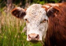 Brown-Kuh-Kopf-Schuß Stockfotos
