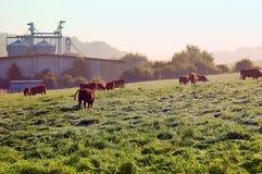 Brown-Kuhstandplatz auf der Weide Stockfoto
