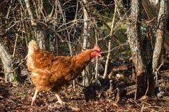 Brown kurczak Zdjęcie Stock