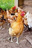 Brown kurczak w piórze fotografia royalty free
