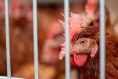 Brown kurczaki na kurczaka gospodarstwie rolnym zdjęcia stock