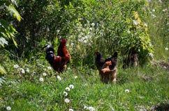 Brown kurczaki pasają na zielonej trawie Zdjęcia Royalty Free