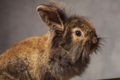 Brown-Löwekopf-Kaninchenhäschen auf grauem Studio backgroud Lizenzfreie Stockfotografie