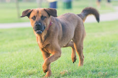 Brown lab mix running stock images