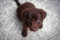 Brown labored's puppy with sad eyes Stock Photo