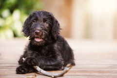 Brown labradoodle puppy outside with a stick Stock Photos
