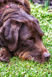 Brown labradoodle at rest Stock Image