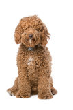 Brown Labradoodle Royalty Free Stock Photos