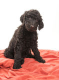 Brown Labradoodle Looking Stock Image
