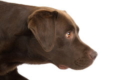 Brown Labrador Royalty Free Stock Images
