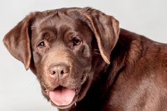 brown labrador zdjęcia royalty free
