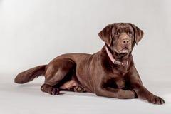 brown labrador fotografia royalty free