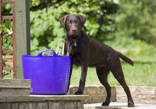 Brown Labrador Photographie stock libre de droits