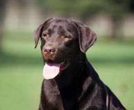 Brown labrador royalty free stock image