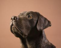 Brown labrador royalty free stock photos