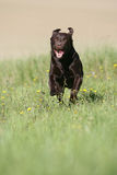 Brown Labrador action Royalty Free Stock Photo