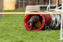 Brown labrador at agility course Royalty Free Stock Photos