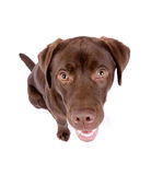 Brown labrador che osserva in su Fotografia Stock Libera da Diritti