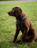 Brown labrador che si siede sull'erba verde Fotografia Stock Libera da Diritti