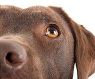 Brown labrador close-up Stock Photography