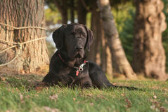 Brown labrador Stock Images
