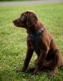 Brown Labrador, das auf grünem Gras sitzt lizenzfreies stockfoto