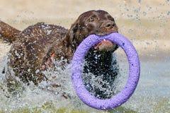Brown Labrador, das entlang die Küste läuft Stockbild