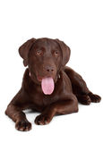 Brown labrador dog Stock Photo